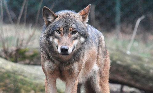 Endnu en grå ulv